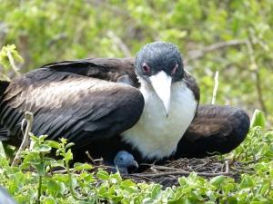 Frigate-bird with fledgling