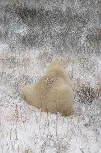 Polar bear, Churchill Canada